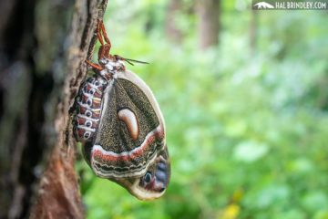 Cecropia moth on a tree