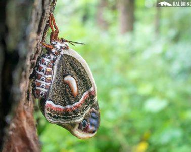 Cecropia moth on a tree