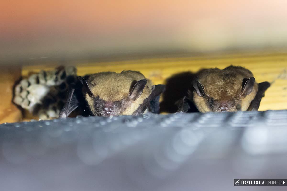 big brown bats in bat house