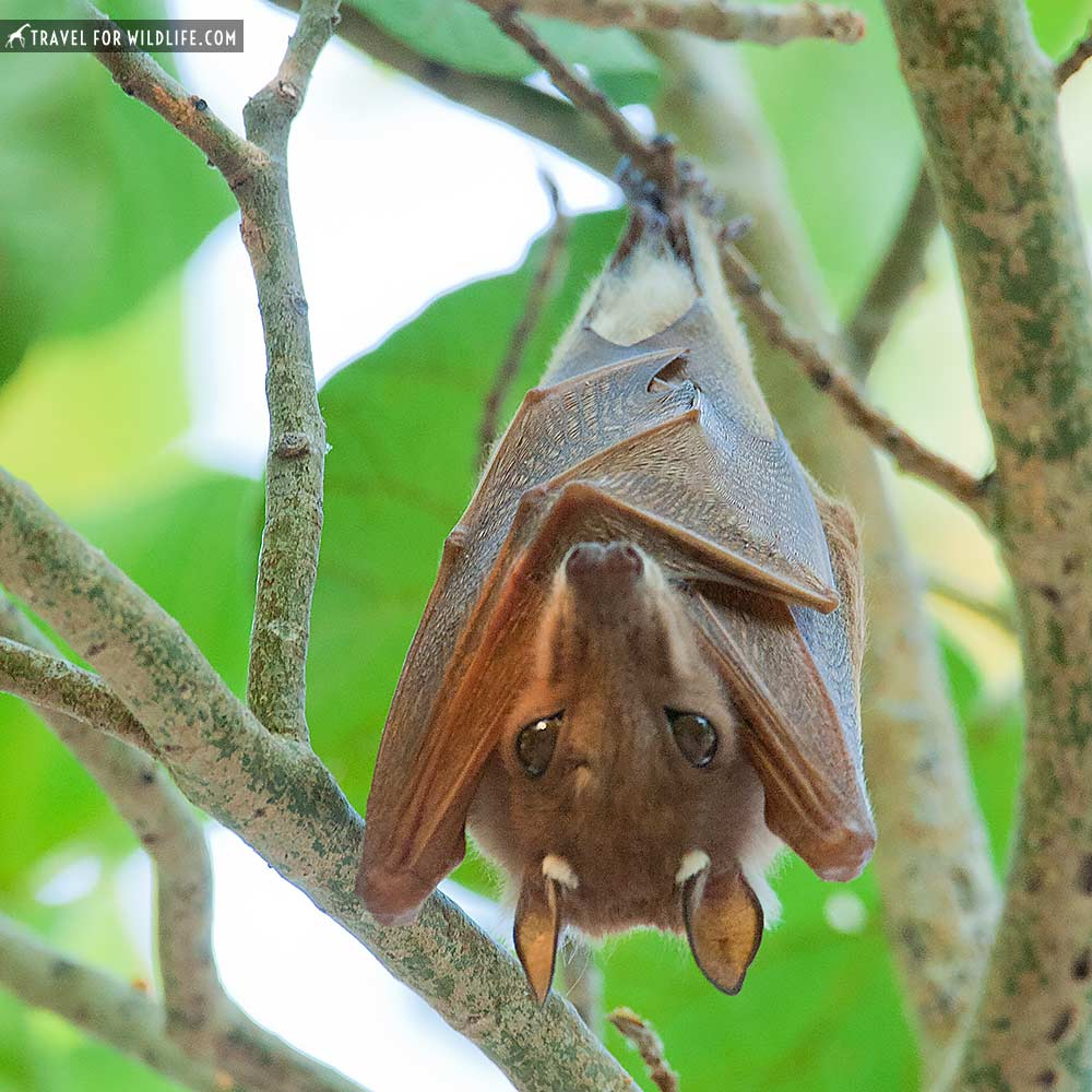 epaulettes fruit bat